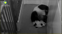 I love when Bei puts he feetsies together. Attribution: Smithsonian's National Zoo (helenwoo555) Tags: creativecommonsnoncommercialattribution