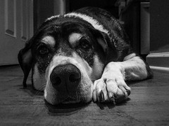 Roxie (nicklaborde) Tags: 500px dog black white animal pet iphone 6 plus mobile phone