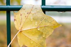 20161025-IMG_3406 (Re Si) Tags: outdoor raindrops rain drops regen regentropfen natur nature canon tiefen tiefenschrfe farben farbenspiel coulours