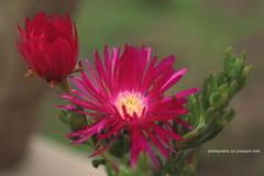 Rayito de Sol (SOBREVALORADO) Tags: chile flowers naturaleza flores flower color planta nature colors garden natural flor colores campo silvestre belleza jardn paisajismo noviciado