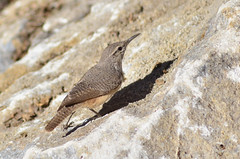 Rock Wren_9 Nov 2014_UCSC Farm_1 (hogspook) Tags: santa county rock farm cruz wren rare ucsc salpinctes obsoletus ebird mbbf