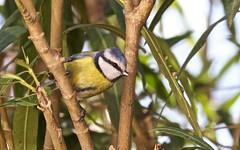Mésange bleue - IMG_4658 (6franc6) Tags: 30 jardin janvier oiseau languedoc gard 2015 milhaud 6franc6