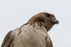 Close up of a young Red-Tailed Hawk