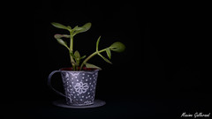 Succulent Plant (MaximeG.Pix) Tags: light plant green painting nikon darkness 85mm d610