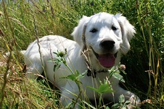 Ludwig (Linzse) Tags: summer dog hot green water smile grass tongue puppy outside happy golden bath warm off retriever tub bathtub soda ludwig cooling