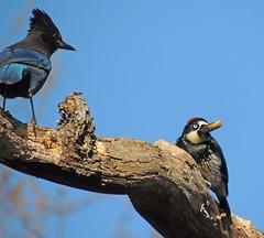 Acorn Woodpecker and Steller's Jay (RebelRob) Tags: bird woodpecker vancouverisland birdwatching victoriabc stellersjay acornwoodpecker