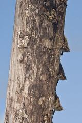proboscis bat, Rhynchonycteris naso (gr8dnes) Tags: animals nocturnal belize wildlife bat tiny mammals centralamerica insectivore verysmall monkeyriver rhynchonycterisnaso pointednose stanncreekdistrict britishhonduras undomesticatedanimals proboscisbat wellcamouflaged