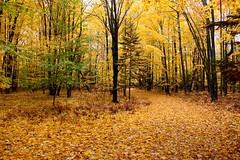Down My Driveway - October 18, 2014 (Robert F. Carter) Tags: driveways fall autumn fallcolors michgan petoskey crookedtreephotographicsociety robertcarterphotographycom ©robertcarter puremichigan
