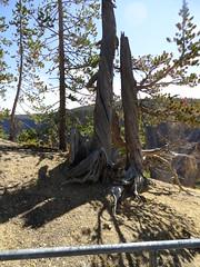 Yellowstone National Park (richardblack667) Tags: trees landscapes parks grand yellowstone wyoming nationalparks canyons