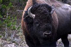 Oops!  Did I disturb you? (Annie RB) Tags: wildlife disturbed bison intheroad