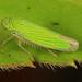 Common Green Leafhopper - Hortensia similis, Lake June-in-Winter Scrub State Park, Lake Placid, Florida