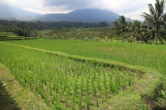 Jatiluwih rice terrace 3 (bob.ukiah) Tags: trees bali food green nature field grass canon indonesia landscape rice paddy terrace farming palm unesco crop growing agriculture pulse staple ubud eosm subak jatiluwah