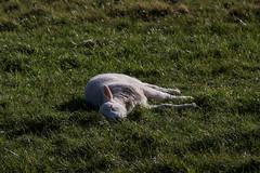 Soaking Up The Sun (me'nthedogs) Tags: sunshine lamb