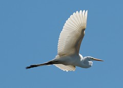 Flying Great Egret (groecar) Tags: bird birds feathers egret greategret egrets greategrets ardeaalba flyingbird whitebirds flyingegret carolgroenen carolgroenenbirds funfeathers