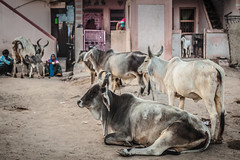Gujarat : Patan #1 (foto_morgana) Tags: travel people india cow asia cattle streetscene streetview gujarat lightroom travelexperience