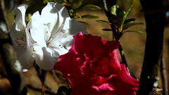 (http://rodrigueztoro.wix.com/arte) Tags: flowers plants naturaleza flores nature beauty landscape flora plantas gorgeous paisaje charm grace attractive vegetation bunch bouquet sublime botany ramo botnica capullo perfection prettiness belleza gracia divinity cocoon encanto delicacy vegetacin splendor perfeccin preciosidad lindeza finesse atractivo handsomeness sheaf esplendor delicadeza divinidad lindura loveliness gavilla magnificence gallantry primor magnificencia guapura gracefulness manojo finura sublimidad gallarda graciosidad