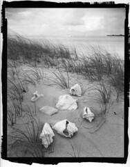 conch shells by scottygimages - Platinum toned Kallitype