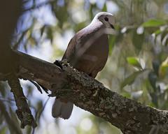 Lemon dove (Columba larvata) (Lip Kee) Tags: lemondove columbalarvata africanlemondove columbalarvatabronzina