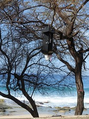 Oceanside trap near Makaha, Hawaii for the Coconut Rhinoceros Beetle (CRB) (Scot Nelson) Tags: coconut traps crb cocosnucifera coconutrhinocerosbeetle