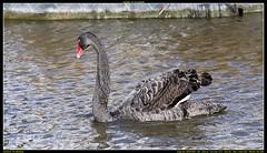 ND6_8566 (charlesvanlangeveld) Tags: black swan nederland swans zwart zwaan moordrecht zwanen photou