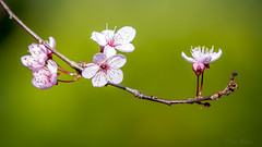 Plum Blossoms (Paul Rioux) Tags: flowers trees plants plant nature blossom plum foliage plumblossoms prioux
