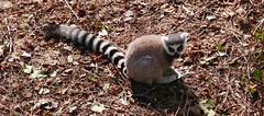 Ring-tailed Lemur (daj333) Tags: uk cool lemur dorset monkeyworld lumixlx100