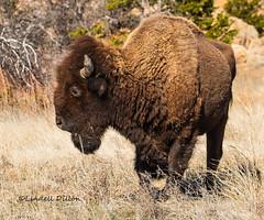 Wounded Warrior (Lindell Dillon) Tags: oklahoma nature buffalo wildlife wichitamountains tamron americanbison lindelldillon