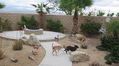 February 22, 2015 (3) (gaymay) Tags: california gay love dogs happy desert palmsprings kitty triad ozmo greyhuahua