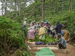 20150226-_1130279-2.jpg (IanRolo) Tags: srilanka teapicking littleadamspeak