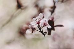 Float (Carrie McGann) Tags: interesting nikon blossoms plumblossoms descansogardens lightroompresets kimklassen 022415 thestudioonline thestudio|online kkeve