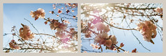 Plum Blossoms (ScarletBlack) Tags: pink pastel blossoms plumblossoms springblossoms