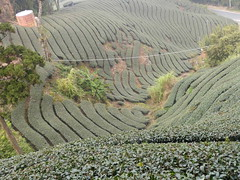 Ruili  plantations de th Oolong (mekong69) Tags: tea   th oolongtea ruili tawan  tiwn