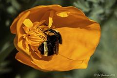 California Poppy and Bee (Bob Gunderson) Tags: sanfrancisco california flowers birds northerncalifornia wildlife bees insects poppies fortmason californiapoppy canoneos7dmarkii