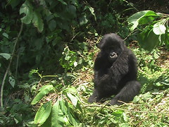 Gorilla in the Sun