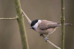 Marsh Tit (Gareth Keevil) Tags: uk winter wild detail bird birds gloucestershire rspb marshtit higham nikond810 nikon200400mm garethkeevil