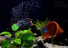 Pareja de terror verde con alevines. (aequidens rivulatus) (kunopike) Tags: pez verde pareja peces guillermo terror puesta acuario guille carmona alevines aequidens ciclido rivulatus