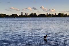 Walking on water (pascaledekker) Tags: lake water skyline clouds rotterdam outdoor walkonwater kralingen cityview moorhen kralingsebos kralingseplas
