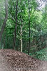 photomoments-mk_2016_02840.jpg (photomoments-mk) Tags: buche deutschland geografie natur sachsenanhalt wald wefensleben geography germany nature saxonyanhalt sonnenschein tree wood
