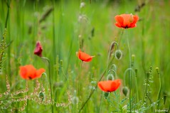 05062016-_DSC0048 (vidjanma) Tags: fleurs coquelicots