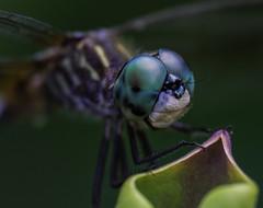DragonFly_SAF0853-1 (sara97) Tags: copyright2016saraannefinke dragonfly flyinginsect insect missouri mosquitohawk nature odonata outdoors photobysaraannefinke predator saintlouis towergrovepark