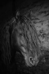 Sjimmie (feldweg) Tags: horse stallion hengst sjimmie hven guthven pferd kon hest cavallo caballo cheval frisian friese