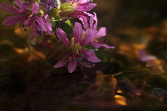 Drowning Beauty (FlorDeOro) Tags: nikon d90 nikkor 40mmf28gmicro photography nature flowers water waterdrops light colorful glow summer gotland sweden mijarajc