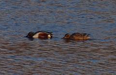 2016_01_0160 (petermit2) Tags: shoveler duck pottericcarr potteric doncaster southyorkshire yorkshirewildlifetrust wildlifetrust ywt