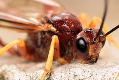 15.7 mm female ichneumon (ophis) Tags: ichneumon hymenoptera ichneumonwasp ichneumonidae ichneumonoidea parasitica acaenitinae coleocentrus coleocentrusrufus