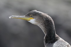 IS7DII_23609 (Ian Slingsby) Tags: northumberland shag farneislands stapleisland