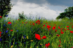 Landscape red-blue 4 (Hejma (+/- 4500 faves and 1,5milion views)) Tags: uplandmiechowska polish landscape darkclouds poppies cornflowers flowers tree red blue green