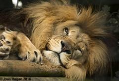 (Joan Hagan 7000k+ views. Thankyou :-)) Tags: nikon d7200 joanhagan july2016zoowhf openday sigma zookentbigcatshigh quality
