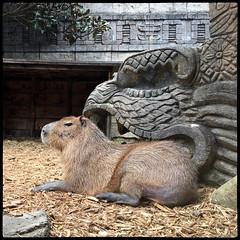 Capybara, Akron Zoo (pfarkas67) Tags: ohio zoo akron capybara iphone 6s iphoneography