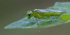 Rhogogaster virides (Glenn van Windt) Tags: macro nature closeup insect natuur hymenoptera sawfly bladwesp greensawfly tamronspaf180mmf35ldifmacro rhogogastervirides
