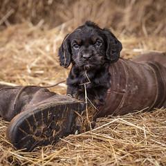 Hide and Seek-1 (d3max) Tags: portrait dog cute animals canon puppy puppies canine spaniel mansbestfriend gundogs dogsatplay 5dmk3 martinhillphotography